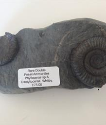 Ammonite Phylloceras & Dactylioceras prepared by fossils4sale Stone Treasures
