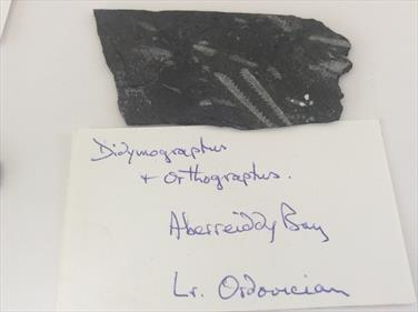 Graptolite Ordovician UK Box 2 of 8 specimens sourced by fossils4sale Stone Treasures