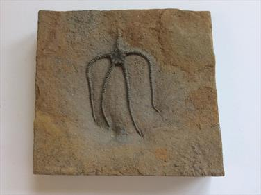 Starfish Fossil Paleocoma egertoni in matrix Eype Dorset. sourced by fossils4sale Stone Treasures