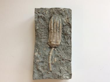 Crinoid fossil Encrinus Lilliformis Middle Triassic Muschelkalk Germany Sourced by Stone Treasures Fossils4sale