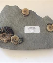 Ammonite Aegasteroceras obtusum & 3 Promicroceras Multi-block Lyme Regis Found and prepared by Stone Treasures fossils4sale