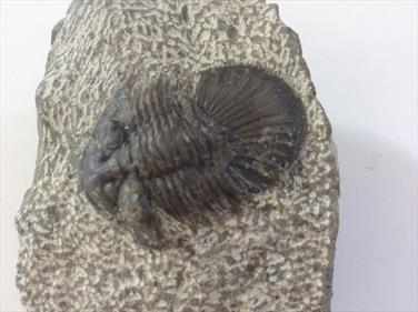 Trilobite Scabriscutellum scabrum Oufaten,  Atlas Mts. Morocco From an old collection Sourced by Stone Treasures fossils4sale