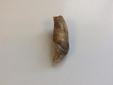 Cave Bear Canine fossil tooth Ursus Deningeri sourced by Stone Treasures fossils4sale