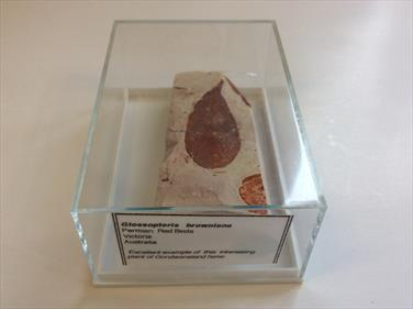 Glossopteris browniana Permian Red Beds length 7.8cm approx.Victoria Australia sourced by Stone Treasures fossils4sale