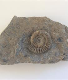 Arnioceras ammonite in matrix Frodingham Ironstone Scunthorpe Diameter 4.5cm Stone Treasure fossils4sale