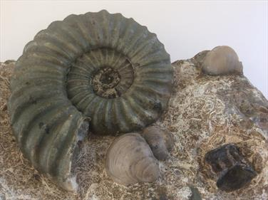 Aegasteroceras with Gryphea & a Fish Vertebra in matrix. Frodingham Ironstone Scunthorpe. Diameter of ammonite 9.5cm approx. Block length 21cm x 12cm width Stone Treasures fossils4sale