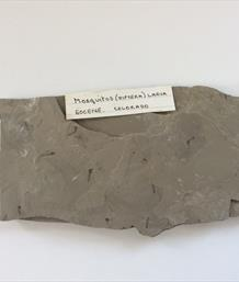 Mosquitos diptera larva fossils 14cm x 7cm Eocene Colorada From an old collection Sourced by Stone Treasures fossils4sale