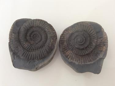 Ammonite Dactylioceras in nodule sourced and prepared by fossils4sale Stone Treasures prepared by M Hawkes
