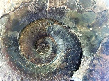 Ammonite Ovaticeras Ovatum Upper Lias Whitby N. Yorkshire Found & prepared by Brandon Hawkes Fossils4sale Stone Treasures