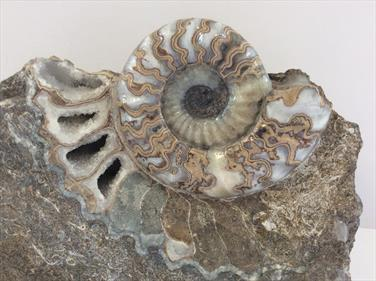 Ammonite Scunthorpe Frodingham Ironstone Polished Display piece 19cm x13cm approx Stone Treasures fossils4sale