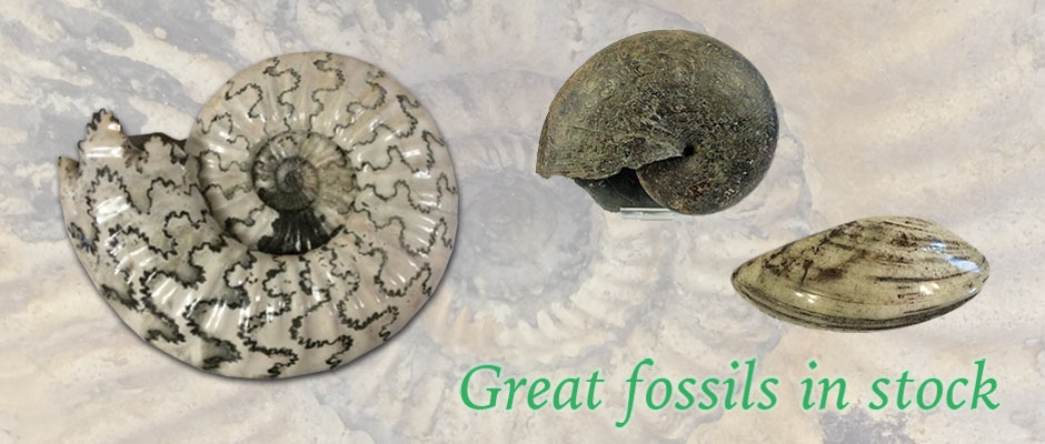 Fossils for Sale | Specialist Preparer and Retailer of High