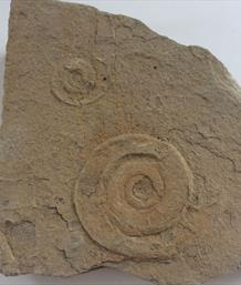 Psiloceras planorbis ammonite from Newark Notts. 6cm diameter 16 x 15cm matrix 1.4Kg Stone Treasures Fossils4sale