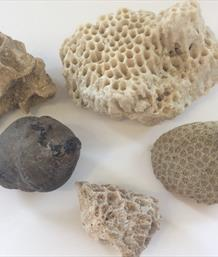 Coral Fossil group 5 including 2 Siderastrea specimens and a sponge Florida USA Stone Treasures Fossils4sale