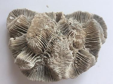 Coral Montastraea cavernosa Fossil Rearside Quarry Holetown Barbados 8cm x 7cm 200g Stone Treasures Fossils4sale
