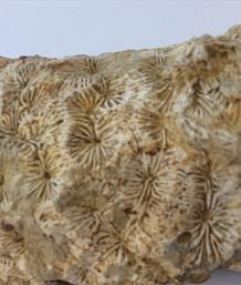 Coral Meandrina Small Fossil from Temple Guiting Quarry Gloucestershire UK 17cm x 7cm 714gms Stone Treasures Fossils4sale
