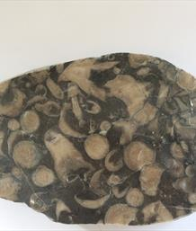 Frosterly Marble Polished section Carboniferous fossil corals 21.5cm x13cm 1.7Kg approx Stone Treasures Fossils4sale