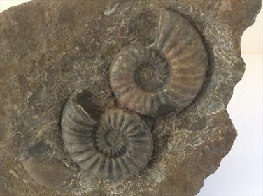 Aegasteroceras double in matrix. Frodingham Ironstone Scunthorpe. Diameter of ammonites 6cm approx. Block length 17.5cm x 13cm approx. Prepared by Stone Treasures fossils4sale