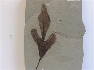 Leaf fossil Balloon Vine Green River Formation Utah 8.5cm x 5cm approx Eocene Sourced by Stone Treasures fossils4sale