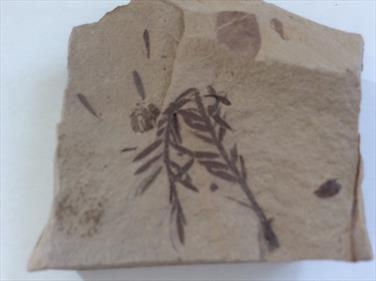 Fossil Leaf, Metasequoia, Dawn Redwood Montana USA height 4.5cm approx.Oligocene Sourced by Stone Treasures fossils4sale