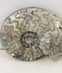 Polished Sunthorpe Eparietites Ammonite diameter 12cm Frodingham Ironstone Scunthorpe UK