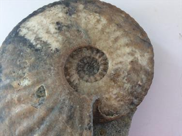 Amaltheus Freestanding Natural Ammonite Eype Dorset Diameter size 12cm approx. 594gms weight Stone Treasures Fossils4sale