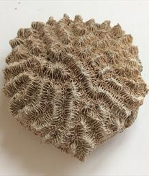 Coral Meandrina maeandrites Fossil Florida 7cm x 6cm 49gms Stone Treasures Fossils4sale