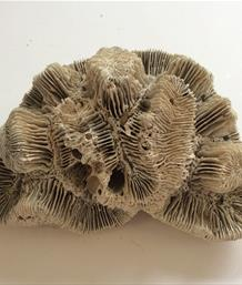 Coral Manicina areolata fossil (Rose Coral)  Florida 11cm x 8cm 178gms Stone Treasures Fossils4sale