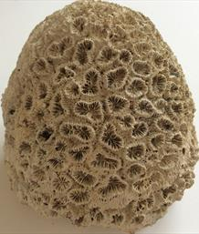 Coral 3 Dichocoenia calooshahatcheenis Fossil (Stony Coral) 410g Shell Creak, South Florida USA Stone Treasures Fossils4sale