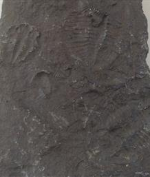 Trilobite Group of Fossil Imprints Probably Welsh 10cm x 5.5cm 147gms Stone Treasures Fossils4sale