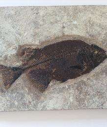 Fish Phareodus encaustus Fossil Green River Wyoming 16cm x 7cm Matrix 15.7cm x 24.5cm 1.44Kg