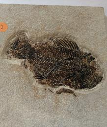 Fish Fossil 2 Priscacara serrata Green River Wyoming 17cm x 16cm Overall 759gms Approx  Stone Treasures Fossils4sale