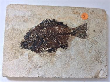 Fish Fossil 3 Priscacara serrata Green River Wyoming 18cm x 16.5cm Overall 530gms Approx Stone Treasures Fossils4sale