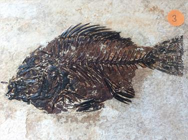 Fish Fossil 3 Priscacara serrata Green River Wyoming 18cm x 16.5cm Overall 530gms Approx
