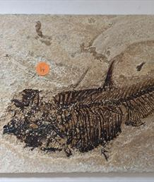 Fish Diplomystus denatus 4 Fossil Green River Wyoming 22cm x15cm Overall  576g approx Stone Treasures Fossils4sale