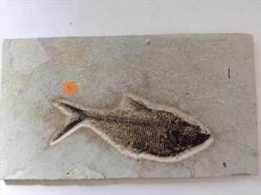 Fish Diplomystus denatus 5 Fossil Green River Wyoming 22cm x 12cm Overall  363g approx Stone Treasures Fossils4sale