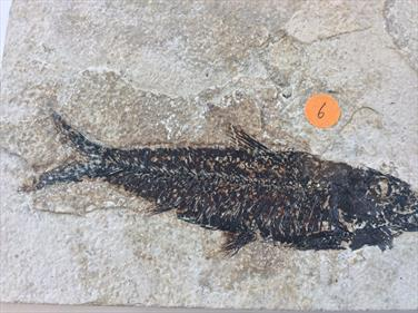 Fish Fossil 6 Green River Wyoming 17.5cm x11.3cm Overall 372g approx Stone Treasures Fossils4sale