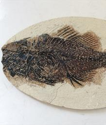 Fish Fossil 4 Priscacara serrata Green River Wyoming 17cm x 11cm Overall 163gms Approx Stonr Treasures Fossils4sale