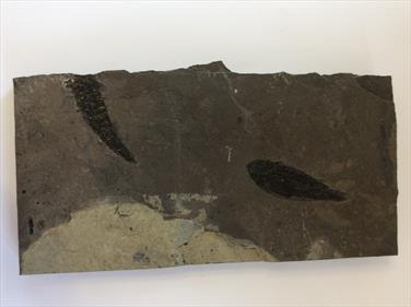 Fish Osteolepis macrolepidotus15cm x 30cm x 2.5cm 2.46Kg Devonian Orkney Stone Treasures Fossils4sale