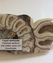 Scunthorpe cut & Polished Ammonite section 10.5 x 5.5cm 191gms  Stone Treasures Fossils4sale
