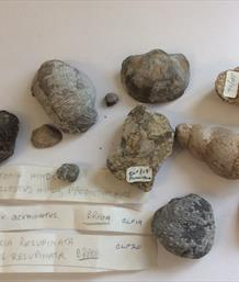 Gastropod x11 specimens Old Collection East Ayton Quarry largest 5.5cm x 4cm 55gms approx Stone Treasures Fossils4sale