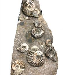 Scunthorpe Ammonite Multiblock Stone Treasures Fossils4sale