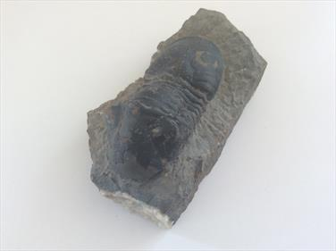 Trilobite fossil sourced fossils4sale Stone Treasures