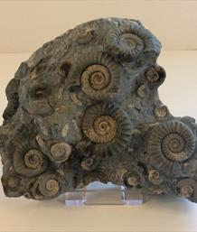 Ammonite Cluster Arnioceras Semicostatum Holderness Coast Yorkshire Prepared by Mark Hawkes Fossils4sale Stone Treasures