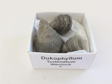 Corals x3 Dokuphyllm turbinatum specimens Wenlock, Silurian Period. 28gms 3cm, 2cm and 1.5cm in length approx.